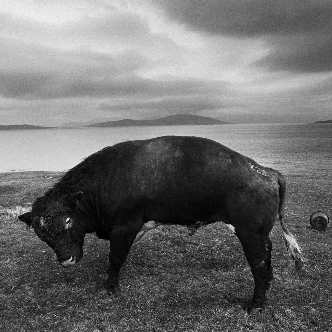 Image of The Scarista Bull, Isle of Harris (1979) by Oscar Marzaroli